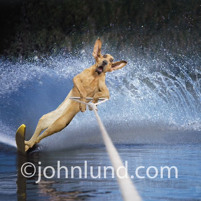 Funny Dogs Dog Bloodhound Water Skiing Using A Slalom Ski And Throwing Up A Funny Elephant Funny Animals Funny Animal Pictures