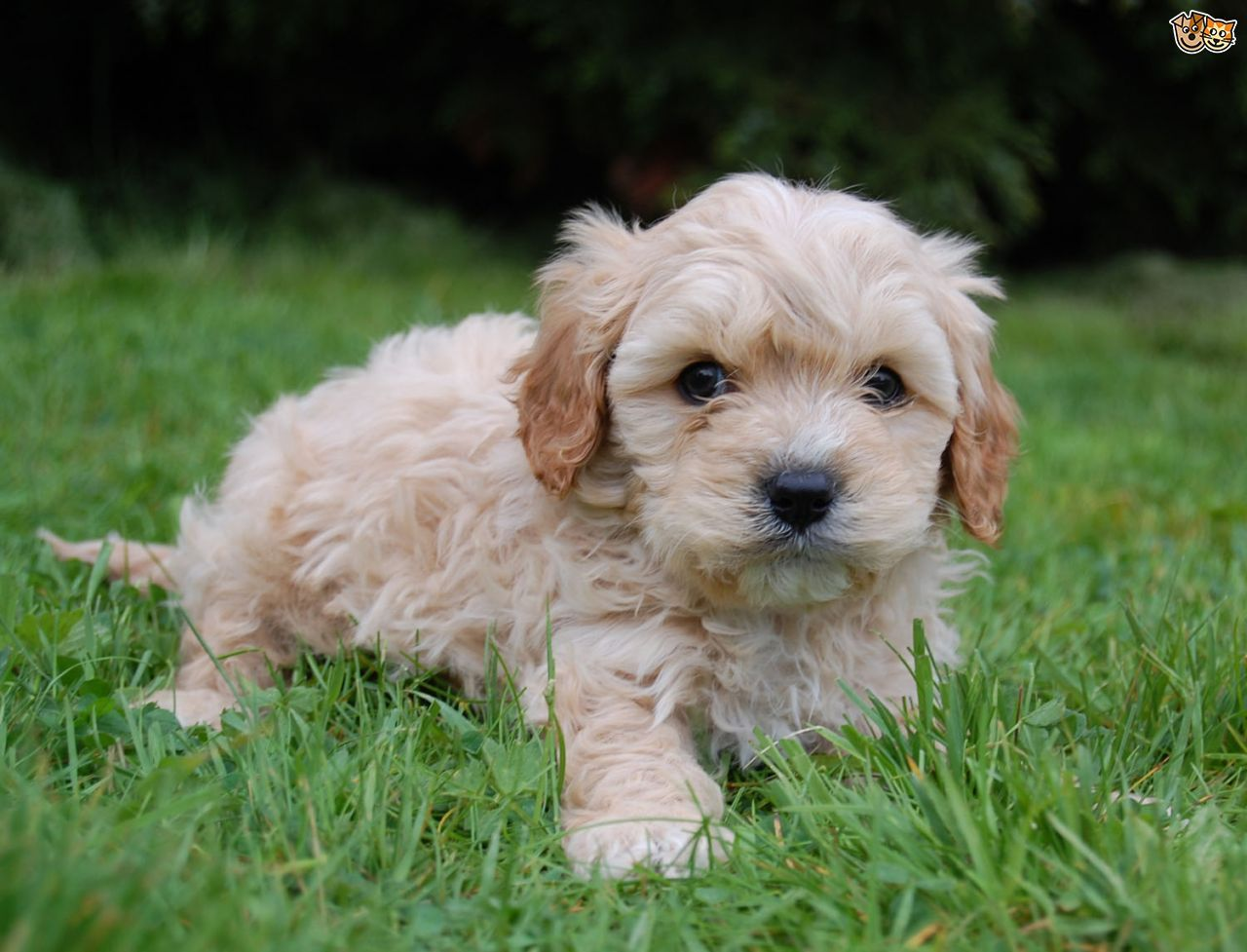 Cavapoo Cavapoo puppies, Dog breeds, Cavapoo