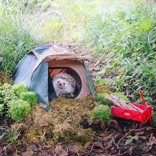 i asked coleman to help me build a tent the inside of the tent is comfortable コールマンさんに手伝ってもらいながらテントをたてたよ テン pygmy hedgehog cute hedgehog cute baby animals