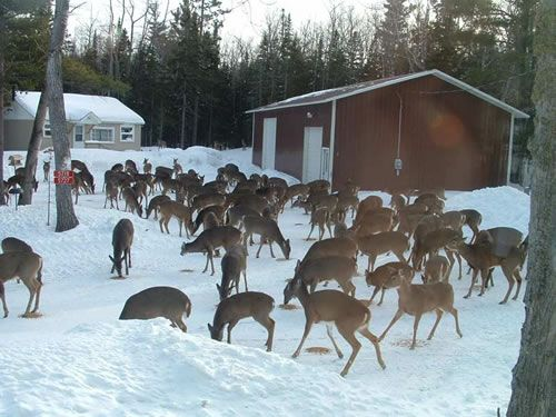 Feeding The Deer For Winter In Wisconsin Eagle River Wisconsin