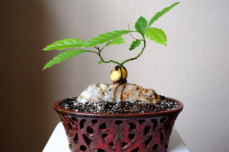 File Php 4896 3264 Indoor Avocado Tree Bonsai Garden Avocado Tree