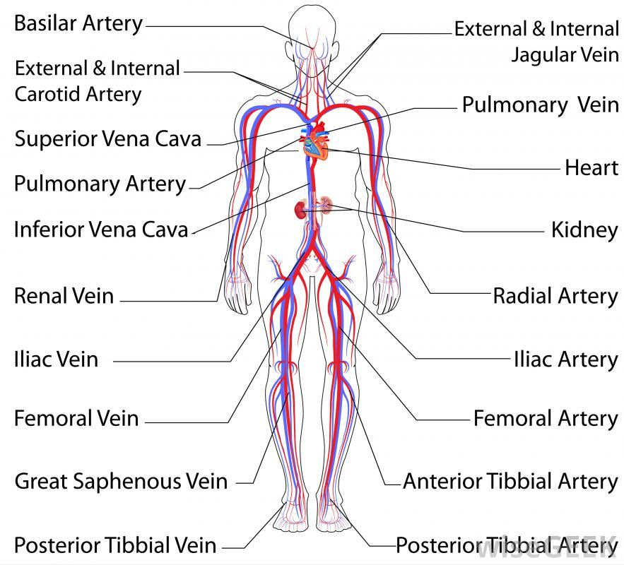 What Is The Iliac Artery With Pictures Circulatory System Arteries Human Body Systems