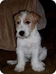 Image Result For Wire Fox Terrier Jack Russell Mix Fox Terrier
