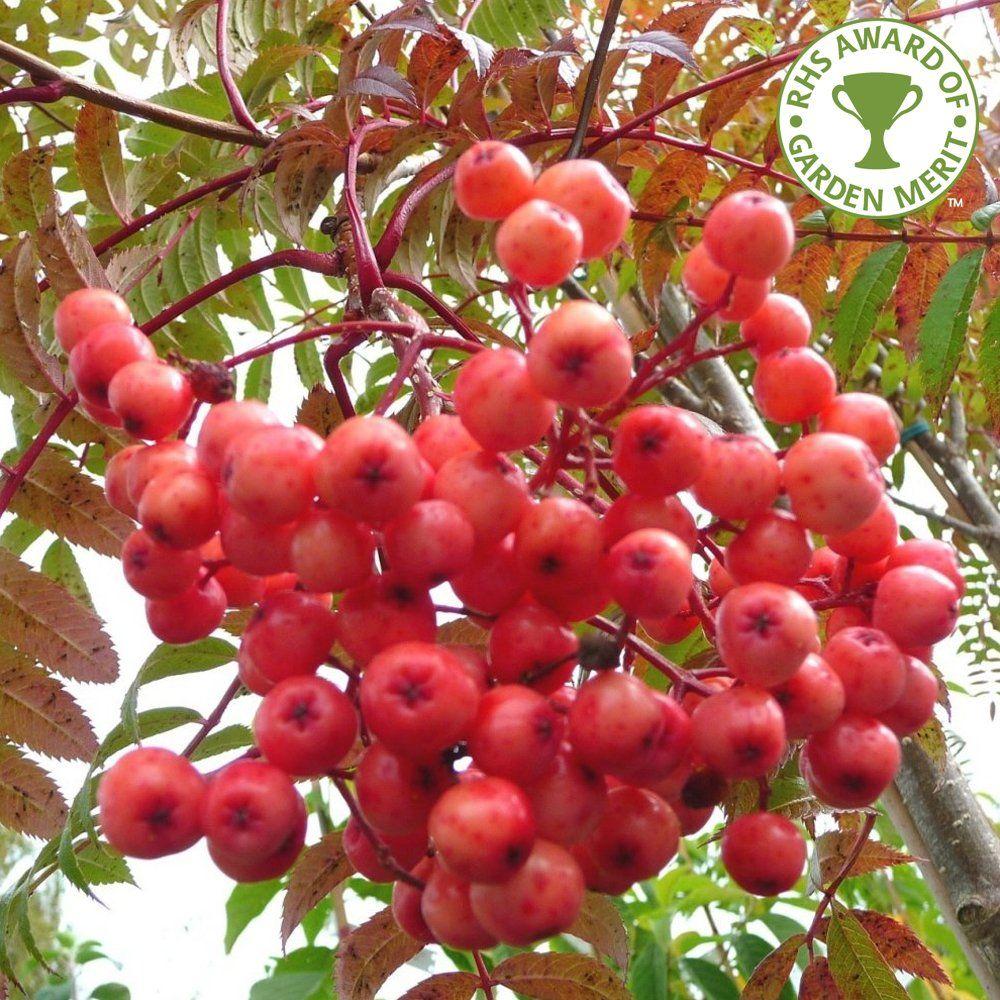 Image result for sorbus eastern promise tree hydrangea pinterest
