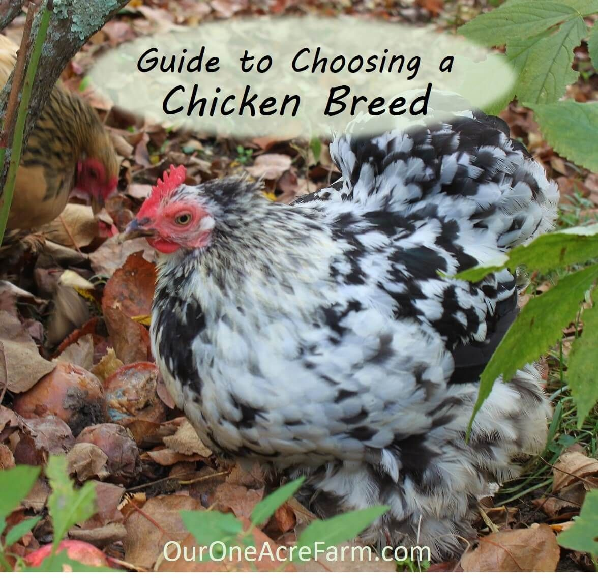 Want backyard chickens for eggs? Meat? Beauty? Calm companionship? For a  cold climate? For a hot climate? For children? For showing? How about the  best ... - Guide To Choosing Chicken Breeds: Pick The Best Breeds For Your