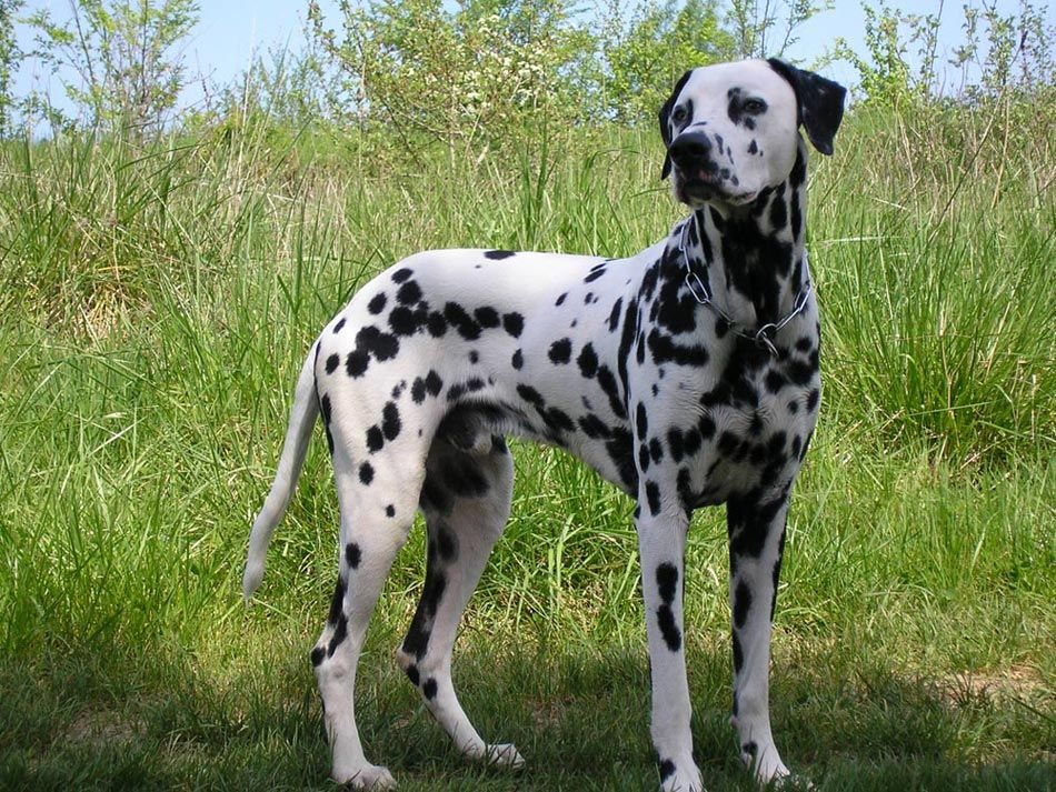 Dalmatian Breed Profile Australian Dog Lover The Main