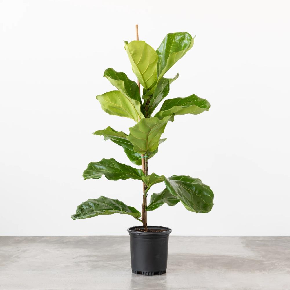 Live Fiddle Leaf Fig Tree in 2020 Fiddle leaf fig