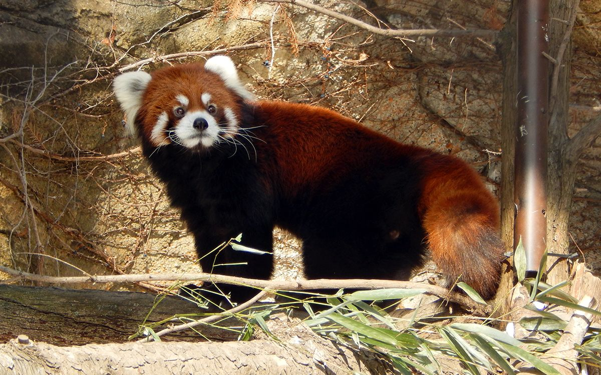 Male red panda Phoenix climbs up into his new home at the Lincoln ...