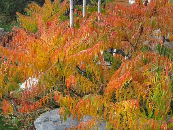 Fall color of the Tigers eye sumac | Gardening is my ...