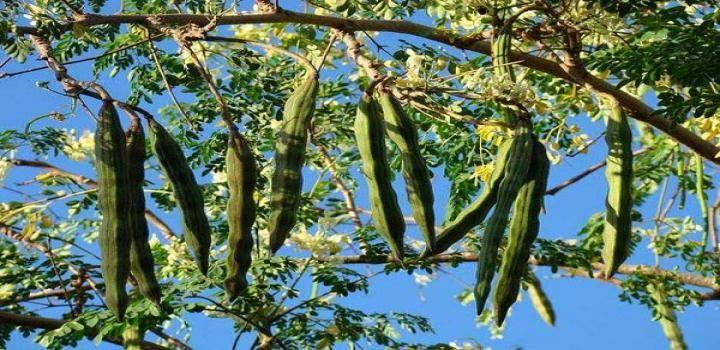 आय र व द म बत य गय ह सहजन स 300 र ग क चमत क र क उपच र Moringa Seeds Moringa Tree Plants