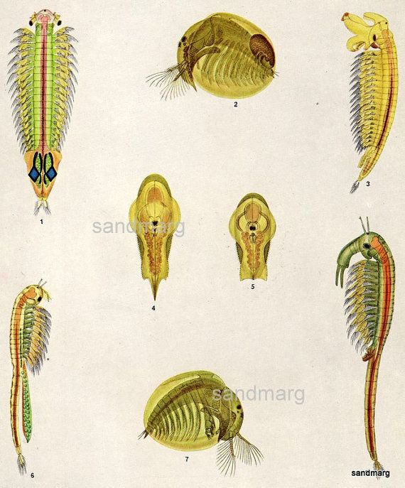 Vintage Chart Of Crustaceans Branchiopoda Fairy Shrimp Crustaceans Art Crustaceans Natural History