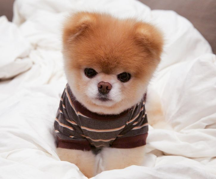 """Dogs to Follow on Social Media - Name: Boo -  A viral sensation that blew up the Internet in 2009, Boo the pomeranian has over 17 million likes on Facebook to date. """"The Cutest Dog on Earth"""" brings in a cool $1 million in revenue every year through his book deals, merchandise and as a spokesdog for Virgin America airlines. 