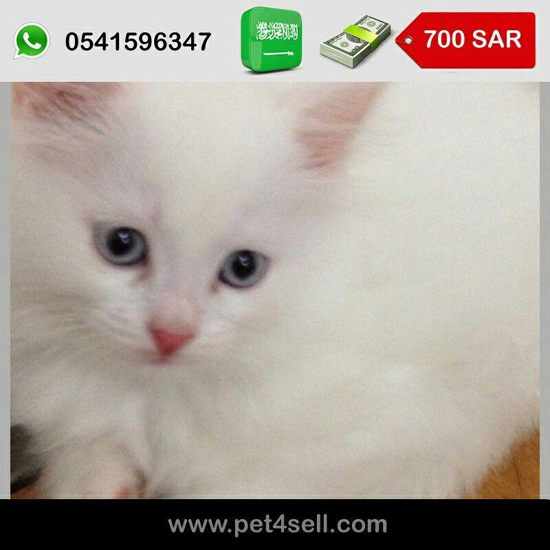 السعودية جده قطة شيرازي بيضاءعيونها زرقاء عمرها ثلاث شهور Pet4sell Cats Animals