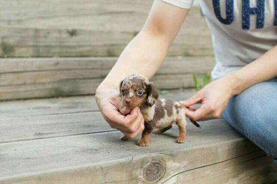 Adorable Chocolate Dapple micro mini female dachshund