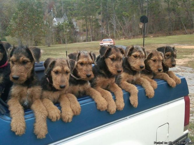 Airedale Terriers Curated By Noah S Ark Mobile Veterinarian