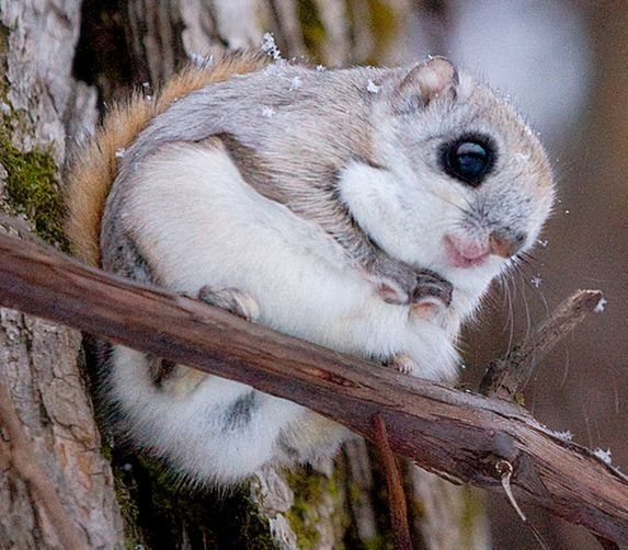 Japanese Dwarf flying squirrel baby. This species was ...