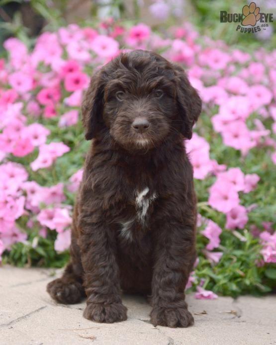 ANNIE Newfypoo Puppy for Sale in Fresno, OH Buckeye