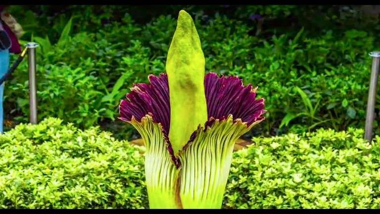 10 Best Chicago Botanical Gardens Corpse Flower Gallery Garden Flower In 2020 Corpse Flower Chicago Botanic Garden Corpse Flower Bloom