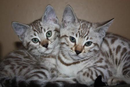 Asian leopard cat foof