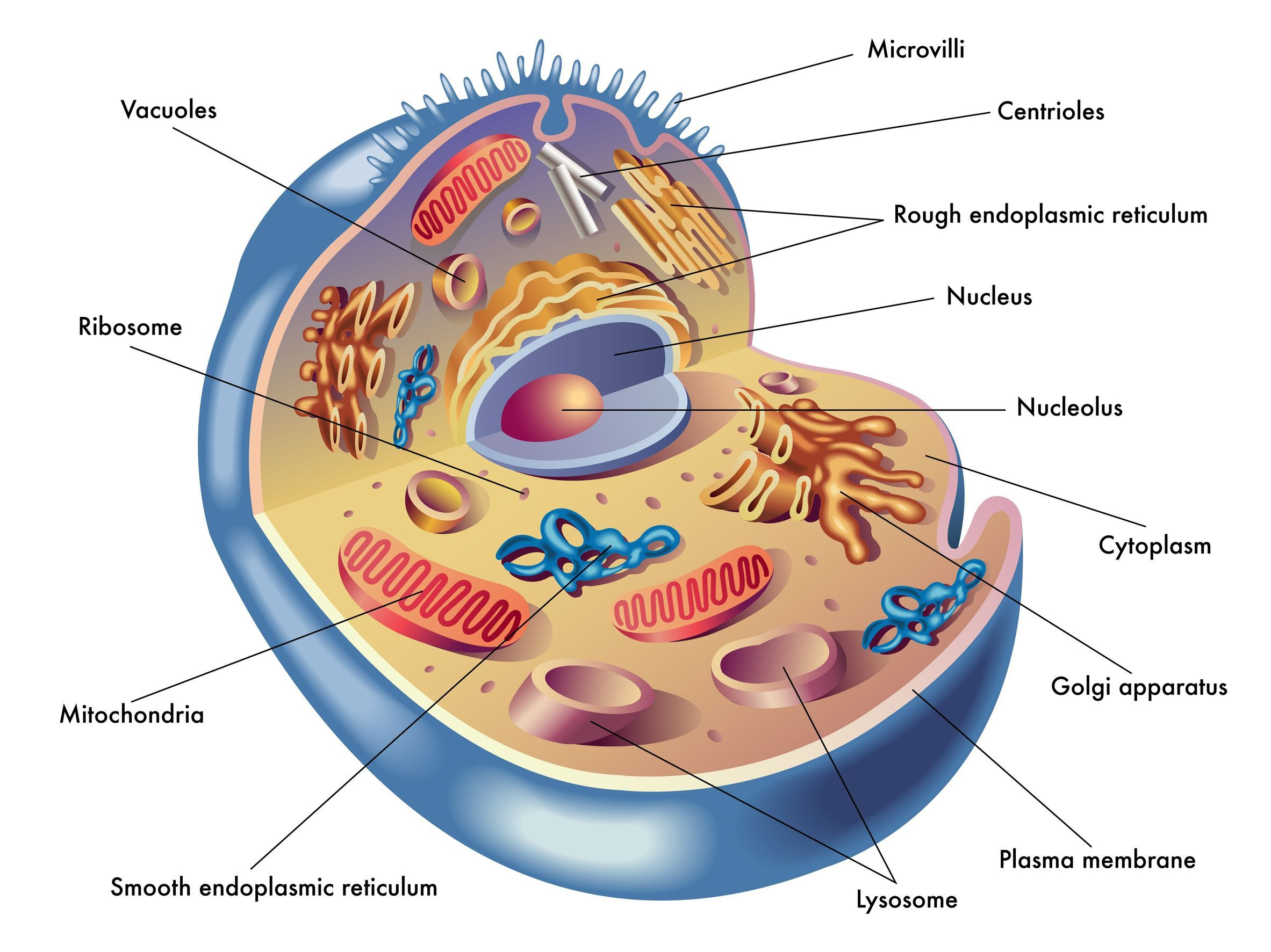 Human Cell Diagram Structure Human Cell Diagram