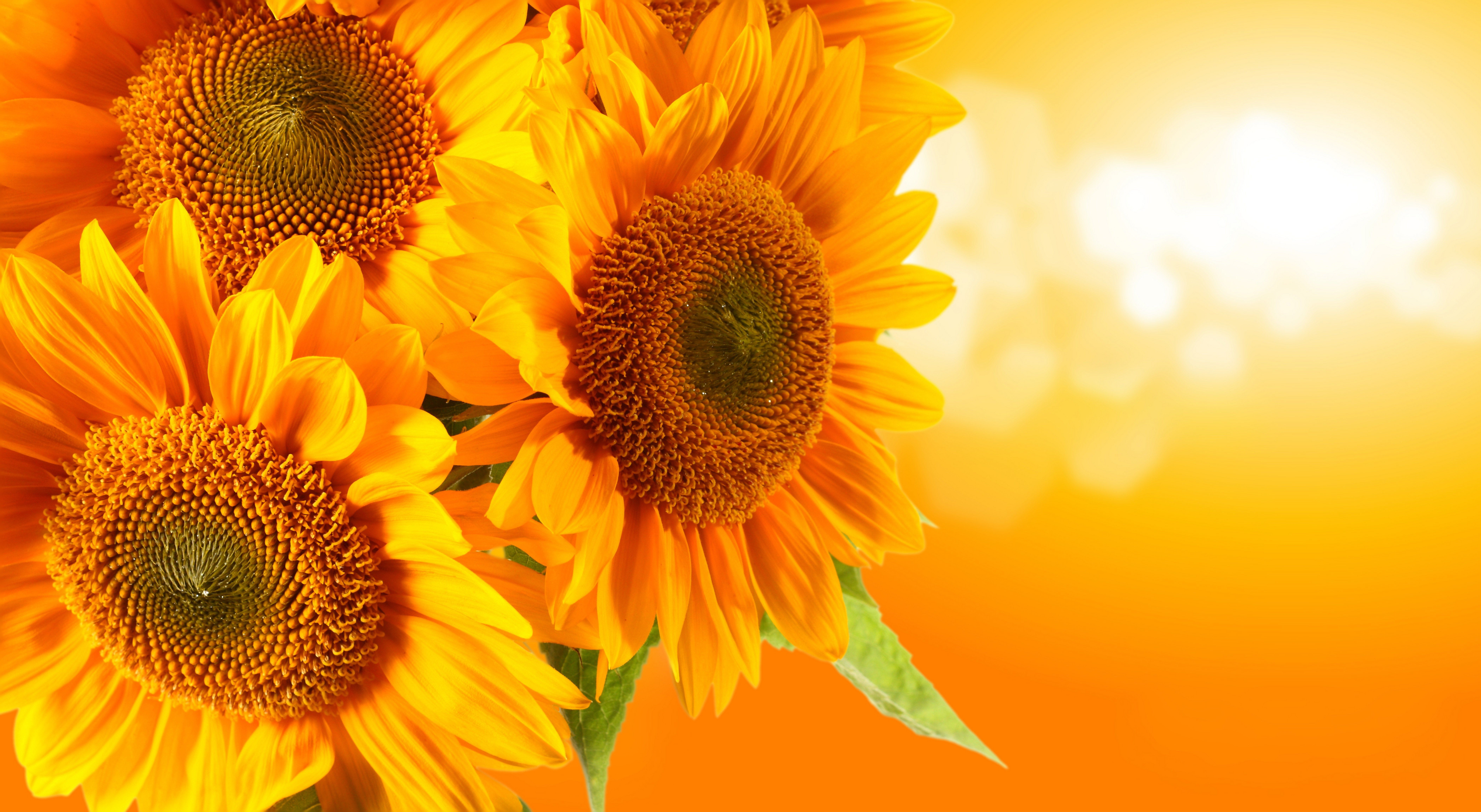 8400x4608 free wallpaper and screensavers for sunflower