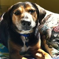 Cute Muttville mutt: McGregor 1687 (Beagle mix   Male   Size: medium (20-50 lbs))