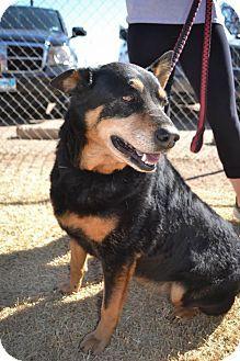 Lubbock Tx Shepherd Unknown Type Mix Meet Sasha A Dog For