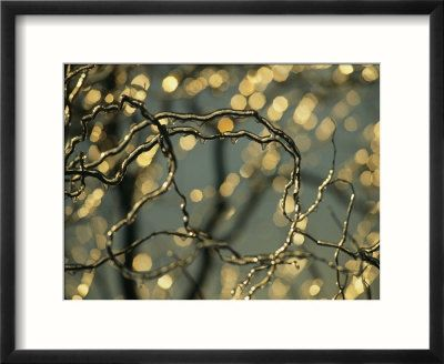 Frozen Twigs of a Corkscrew Willow Sparkle in the Sunlight. Photographic Print by Raymond Gehman at Art.co.uk