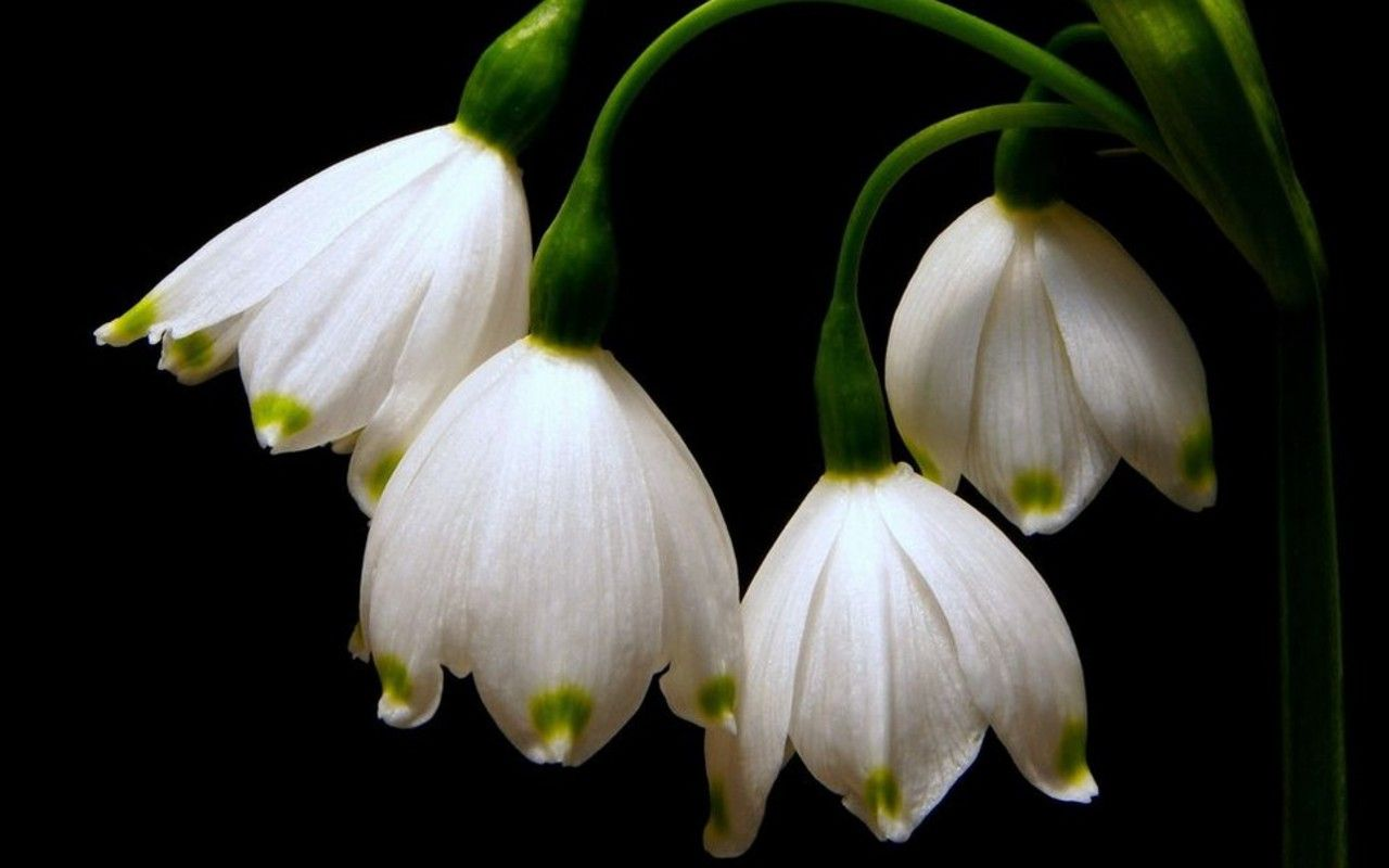 Wallpaper Spring Flowers Snowdrops Month Flowers January Flower Birth Flowers