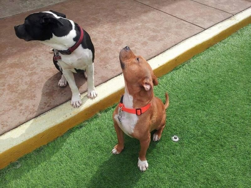 Adopt Roxie on Terrier dogs, Dogs, French bulldog mix