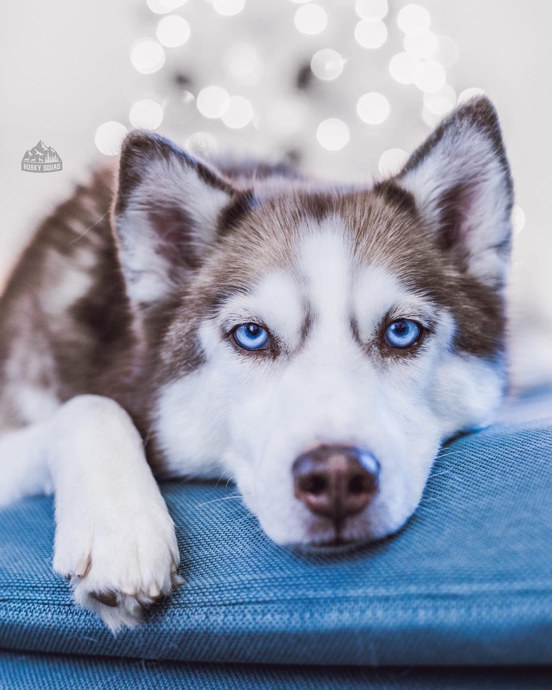 Pin By Kim Petrie On Mondaho Husky Cute Baby Animals Dogs