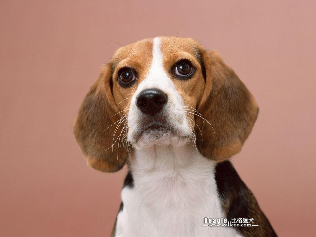 2 Week Old Tan And White Beagle Puppy Howling Beagle Dog Beagle