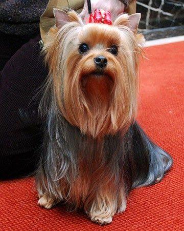 Yorkie Long Hair Long Hair Pet Puppy Yorkshire
