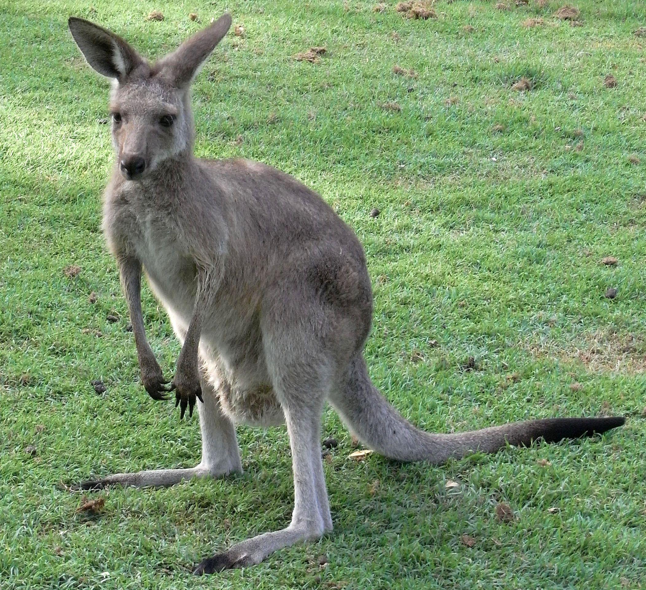 Eastern Grey Kangaroo | WILDLIFE | Pinterest | Kangaroos, Tasmanian ...