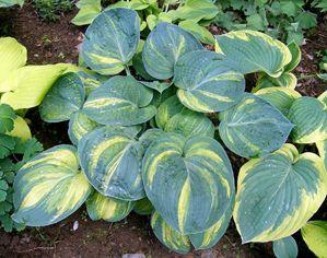 Budd Gardens Hostas Perennials Ottawa Canada Hostas Shade Plants Hosta Plants