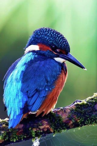 Der Blaue Vogel The Blue Bird Hubsche Vogel Vogel Als Haustiere Exotische Vogel