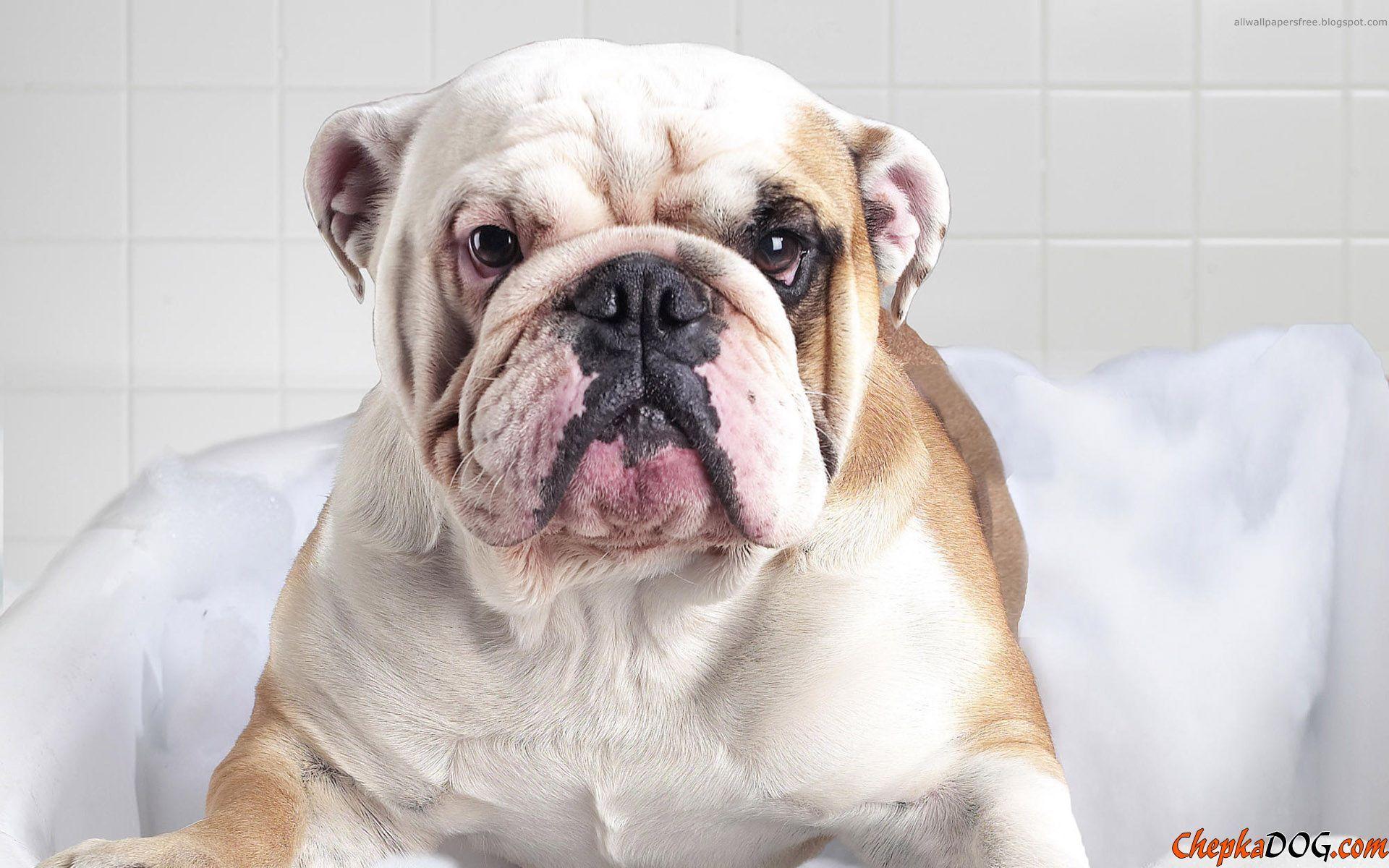 Cute english bulldog photo chepkadog en pinterest english