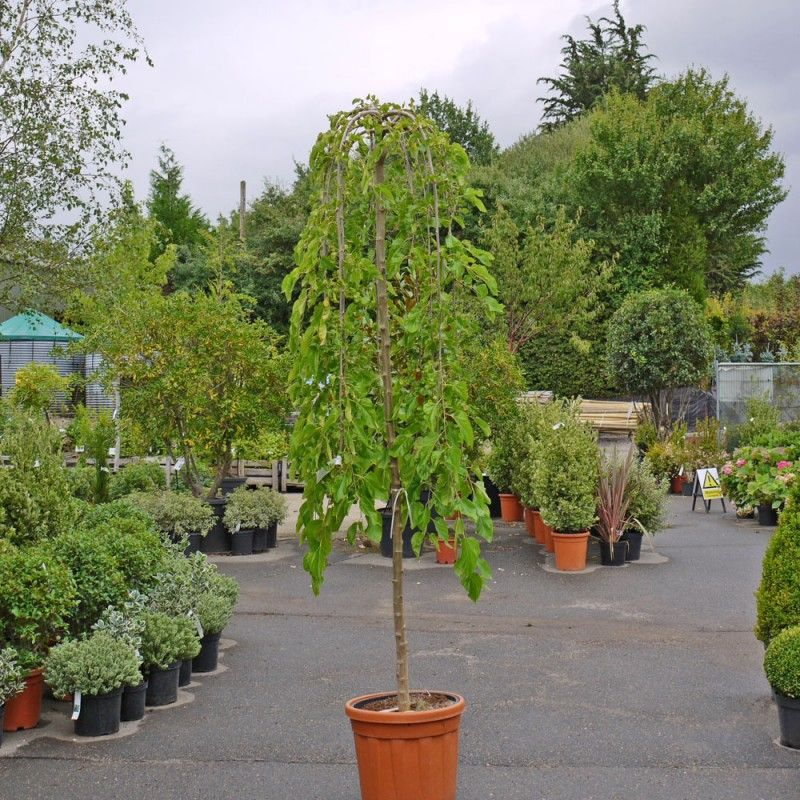 Toona Sinensis Flamingo Displaying Its Nearly Emerging Leaves Trees To Plant Garden Trees Flowering Trees