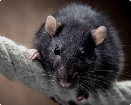 blackrat.png (550×442) Mice control, Termite control