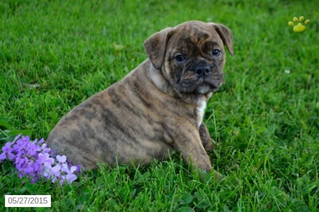 English Bulldog Hybrid Puppy For Sale In Ohio Buckeyepuppies Puppies For Sale English Bulldog Puppies