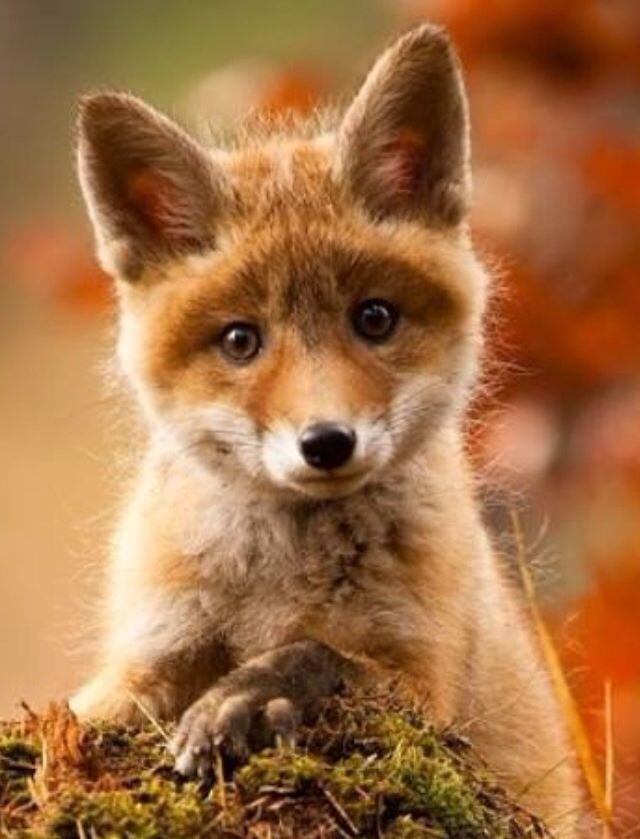 Zorrito Fox Lisy Pinterest Rotfuchs Tiere And Fuchs