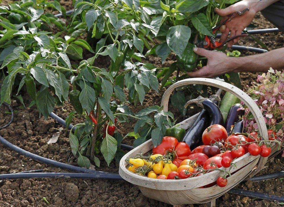 Quand planter les légumes du soleil selon votre climat en