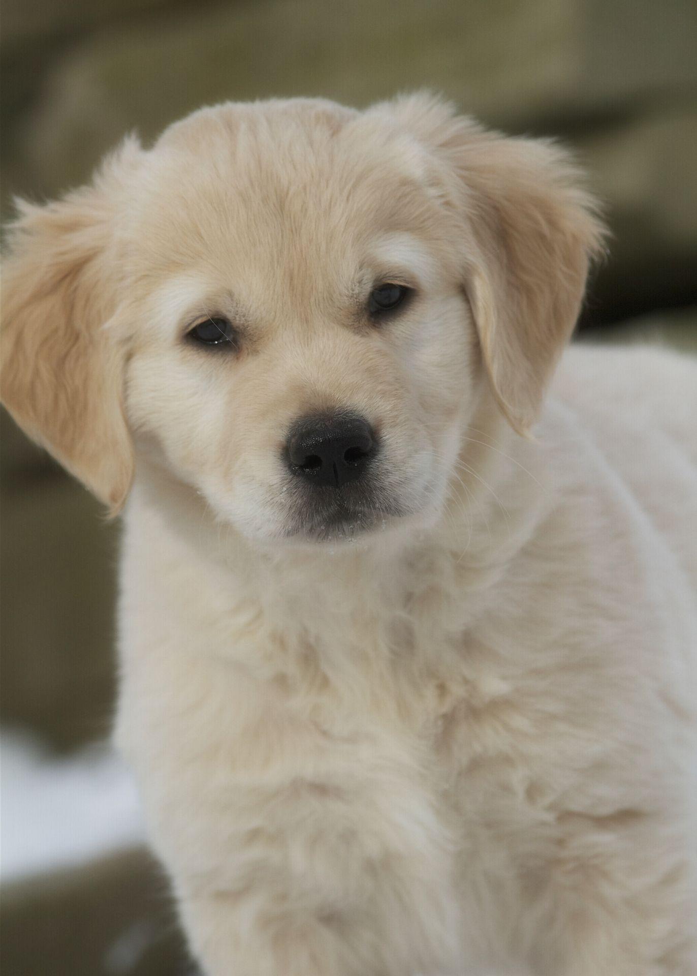black labrador puppies for sale nz