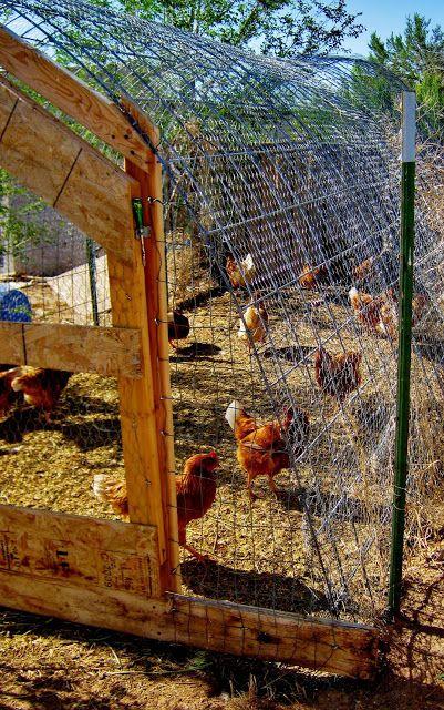 Cricket Song Farm: Cattle Panels make a sturdy Chicken Run/ Hoop Coop