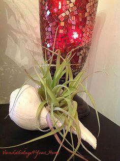 airplants in the house, gardening, home decor, This is nestled inside the seashell