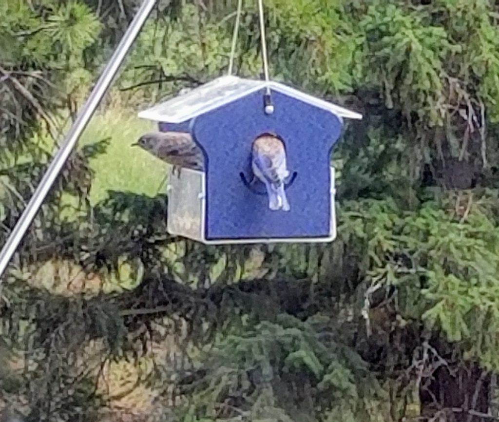 Attract bluebirds to your yard some simple tips in 2020