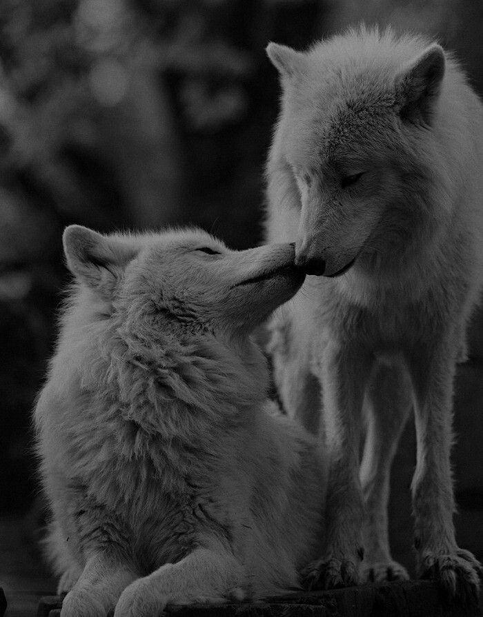 Влюбленные волки картинки красивые, сделать