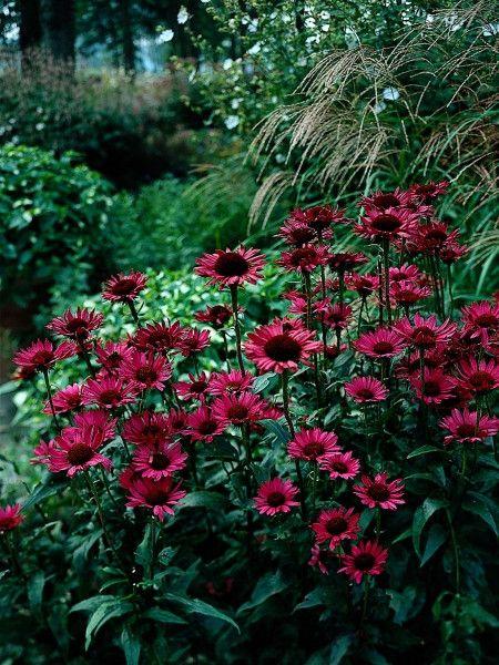 Echinacea explosion the coneflower chronicles vintage wine wine dream garden mightylinksfo