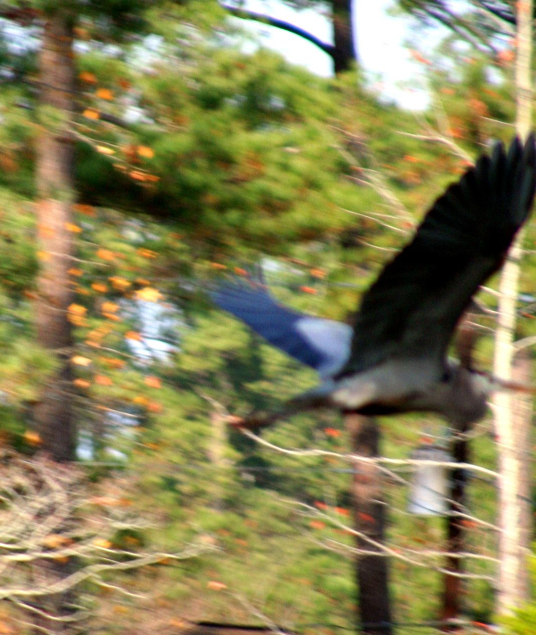 Great Blue Heron  - Up Close Fly By -(My photo)