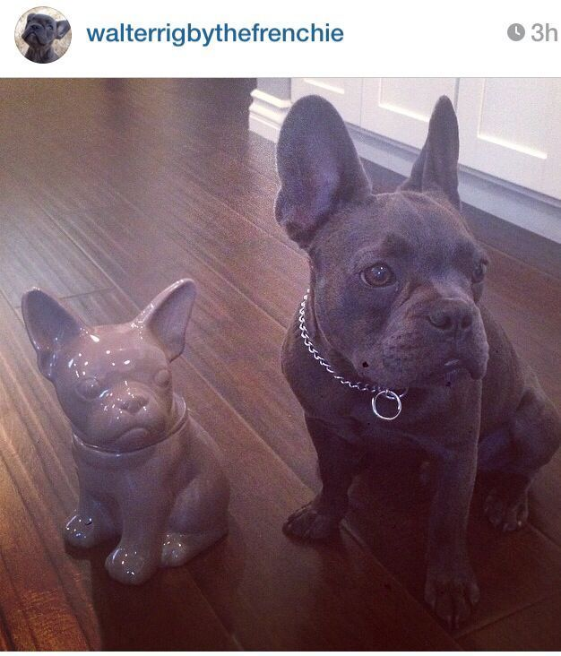 Walter Rigby, the French Bulldog with his Mini-Me #walterthefrenchbulldog Walter Rigby, the French Bulldog with his Mini-Me #walterthefrenchbulldog Walter Rigby, the French Bulldog with his Mini-Me #walterthefrenchbulldog Walter Rigby, the French Bulldog with his Mini-Me #walterthefrenchbulldog